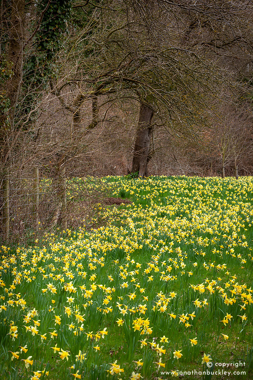 Wild daffodils - Narcissus pseudonarcissus - growing in Gwen and Vera's Fields nature reserve, Gloucestershire - part of 'The Golden Triangle' daffodil trail.