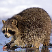 Raccoon, (Procyon lotor) Feeding on small trout in river.  Captive Animal.