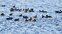 American Coot (Fulica americana). Merritt Island National Wildlife Refuge, Merritt Island, Florida. Image taken with a Nikon D4 camera and 500 mm f/4 VR lens.