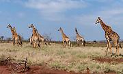 South African giraffs (Giraffa giraffa giraffa) from Zimanga, South Africa.