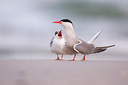 Common tern (Sterna hirundo) Screeching on a beach. This seabird is found in the sub-arctic regions of Europe, Asia and central North America. It migrates to the subtropical and tropical oceans. The common tern grows up to 37 centimetres with a wingspan of 70- 80 centimetres. Photographed in Israel in July