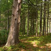Old hemlock in Harold Parker State Forest, Massachusetts