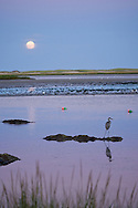 A great blue heron waits while the harvest moon rises over Nauset Harbor in Orleans.