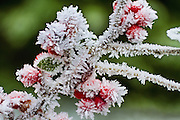 Ice crystals form on cotoneaster. (Mike Siegel / The Seattle Times)