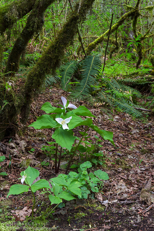 A groups of flowering Western Trillium (Trillium ovatum) plants in the vine maple forest at Campbell Valley Park in Langley, British Columbia, Canada