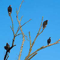 Turkey Vultures Morning Sun Perch. Autumn in New Jersey. Image taken with a Nikon D3s and 300 mm f/2.8 VR lens (ISO 200, 300 mm, f/13, 1/640).