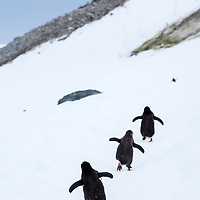 Three gentoo penguins walk in a row up a snow covered hill on Danco Island in Antarctica.