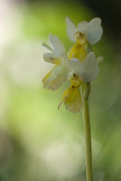 Apulia; Gargano National Park; Gargano Peninsula; Italy; Monte Sacro; Orchis pauciflora; Sparsely Flowering Orchid