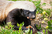 Close up of a Honey badger (Mellivora capensis) feeding, The honey badger, also known as the Ratel, is a member of the Mustelidae family. Photographed in Israel in Winter