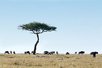Wildebeest grazing in the beautiful reserve of masai mara in kenya africa