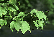 Moosewood Acer pennsylvanicum (Aceraceae) HEIGHT to 14m. One of the so-called 'snakebark maples'. BARK Green, vertically striped with reddish-brown or white; bark becomes greyer with age. BRANCHES Mainly upright. LEAVES To 15cm long and about same width, with 3 triangular forward-pointing lobes that taper to slender points; central lobe is longest. In summer leaves are rich yellow-green with a smooth upper surface and a hairy lower surface when first open. In autumn they turn a deep yellow. REPRODUCTIVE PARTS Small yellow-green flowers, in pendulous racemes, appear in spring with leaves. Greenish fruits are about 2.5cm long and have downcurved wings. STATUS AND DISTRIBUTION Native of N America, planted here for its autumn colours.