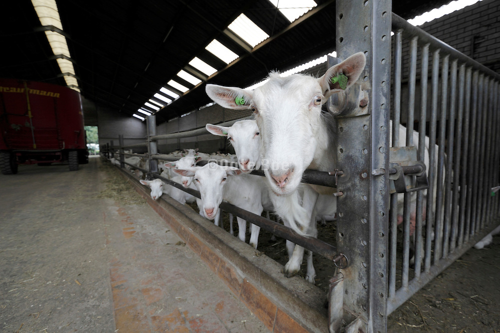 inside the stable of a biologic goat farm Holland