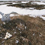 Snowy Owl (Bubo scandiacus) adult returning io its nest. Barrow, Alaska
