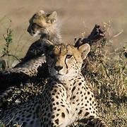 Cheetah, (Acinonyx jubatus) Mother and cubs resting. Masai Mara Reserve. Kenya.