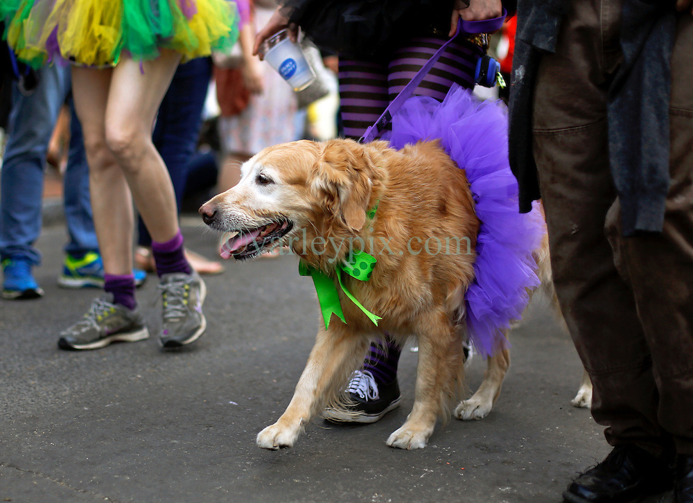 31 January 2016. New Orleans, Louisiana.<br /> Mardi Gras Dog Parade. Golden retriever at he parade. The Mystic Krewe of Barkus winds its way around the French Quarter with dogs and their owners dressed up for this year's theme, 'From the Doghouse to the Whitehouse.' <br /> Photo©; Charlie Varley/varleypix.com