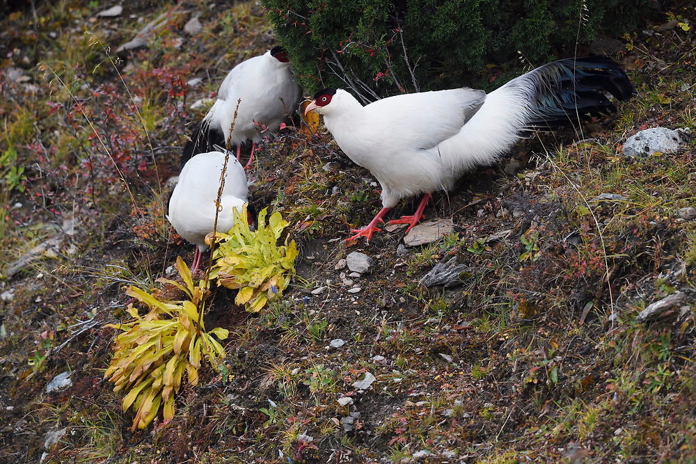 A group of White Eared Pheasant birds, Crossoptilon crossoptilon, are walking around in the U-shaped valley, Baima Snow Mountain Nature reserve, Yunnan, China