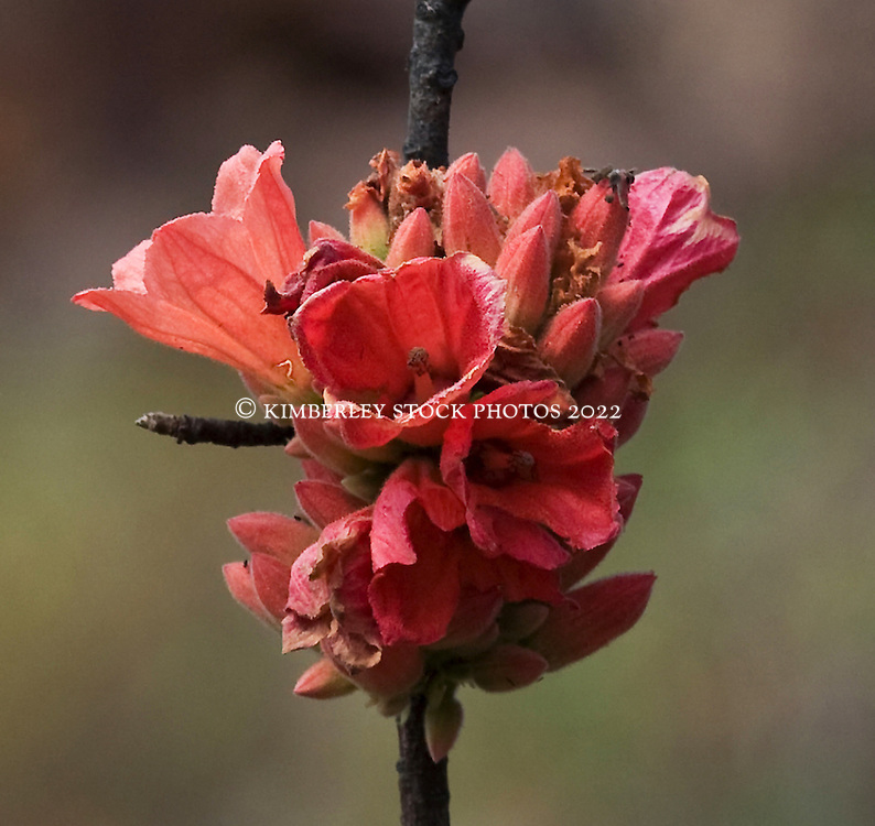 The bright red bracts of a Kimberley rose, growing on a hillside at Shoal Bay on the Kimberley coast.