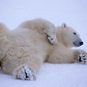 Polar Bear, (Ursus maritimus) Sub adult rolling in snow on ice pack. Churchill, Manitoba. Canada.