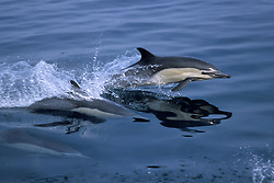 A Long-Beaked Common Dolphin, Delphinus capensis, leaps clear of the water as its companions keep pace just below the glassy surface. Offshore of San Diego, USA, eastern Pacific Ocean