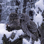 Great Gray Owl, (Strix nebulosa)  Male brings vole to female on nest to feed chicks. Montana.