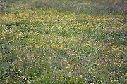 Wildflowers growing in wetland pasture, Sutton, Suffolk, England