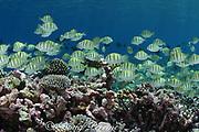 convict tangs (surgeonfish), Acanthurus triostegus, Bay of Wrecks, Christmas Island, Line Islands, <br /> Republic of Kiribati (Pacific)