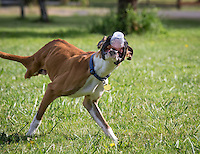 World famous 2 legged boxer Duncan Lou Who found a lid that he decided to toss around.