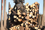 Photo Randy Vanderveen.Grande Prairie, Alberta.A loader places logs onto the waiting bunk of a log truck to be hauled to  a Grande Prairie area plant. The trees harvested to control mountain pine beetle are utilized as much as possible for lumber, pulp or hog fuel for an area electrical co-gen plant.