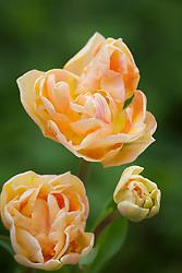Tulipa 'Orange Angelique' = 'Charming Lady / Charming Beauty'