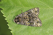 Coronet - Craniophora ligustri
