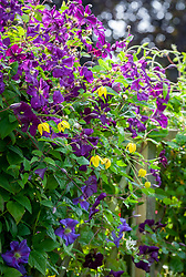 Clematis 'Étoile Violette', Clematis 'Perle d'Azur' and Clematis tangutica growing on a trellis