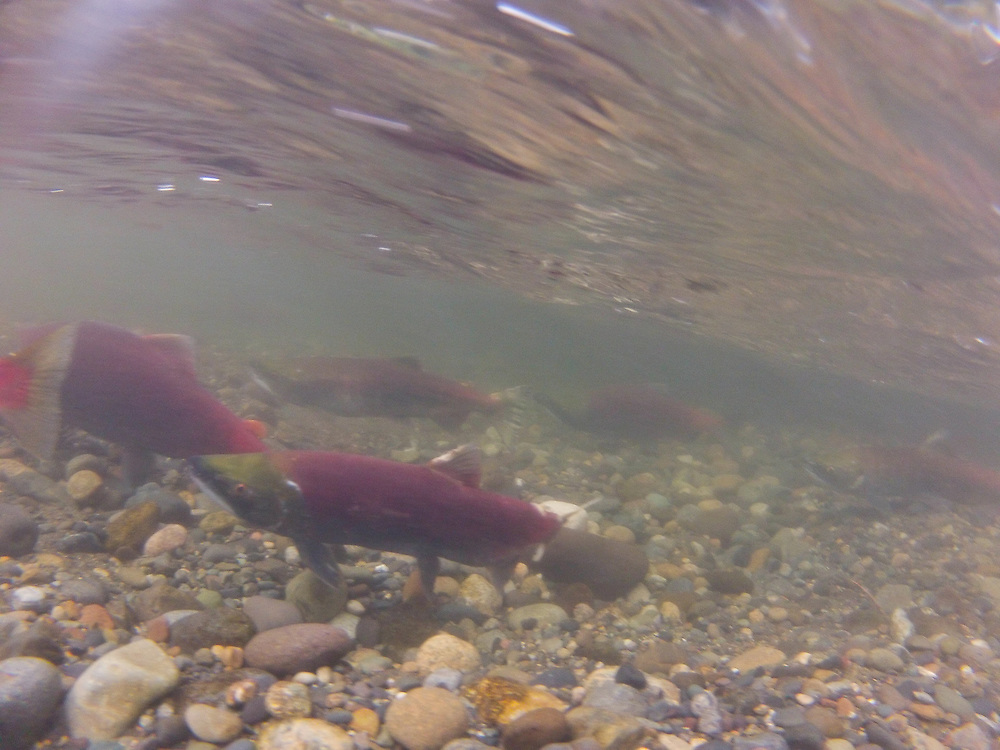 Socky Salmon (Oncorhynchus nerka) in the Cedar River, Seattle, Washington. The run in 2012 had larger numbers than recent years. Photo by William Drumm.