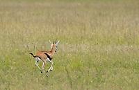 Juvenile Thomson's Gazelle, Eudorcas thomsonii, runs in Maasai Mara National Reserve, Kenya