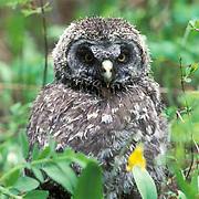 Great Gray Owl, (Strix nebulosa)  Fledgling among glacier lilies near nest. Montana.