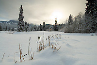 Cattails peak out from a fresh snow fall on the Whistler Golf Course, Whistler, BC