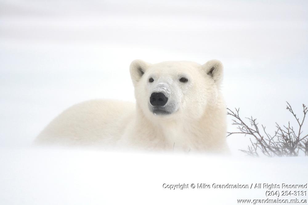 Polar Bear (Ursa maritimus) on sub-arctic Hudson Bay  lying on ice in snow blizzard<br />Churchill<br />Manitoba<br />Canada