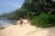 youths run toward and past and endangered Hawaiian monk seal after passing signs warning not to disturb or approach the resting seal, on a beach below Ali'i Drive, Kailua Kona, Hawaii ( the Big Island ); the seal rears up and barks at the young man whose foot can be seen near the seal's rear flippers