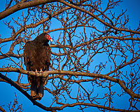 Turkey Vulture in a Neighbors Tree. Image taken with a Fuji X-T1 camera and 100-400 mm OIS telephoto zoom lens (ISO 200, 400 mm, f/5.6, 1/125 sec).
