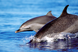 pantropical spotted dolphin, mother and calf, .Stenella attenuata, wake-riding, .Big Island, Hawaii (Pacific).
