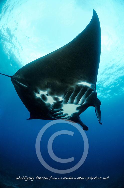 Manta birostris, Schwarzer Manta Rochen, Mantarochen, Black manty ray, Bali, Nusa Penida, Mantapoint, Indonesien, Indopazifik, Bali, Indonesia Asien, Indo-Pacific Ocean, Asia