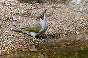 Green Woodpecker (Picus viridis) adult male, standing at water's edge, head raised swallowing, Oxfordshire, UK.