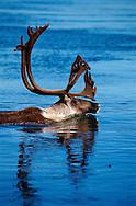 Swimming Caribou, Rangifer tarandus, Kobuk valley National Park, Alaska, USA