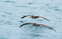 Two Brown Pelicans, Pelecanus occidentalis, fly over the Caribbean Sea near Gibara, Cuba