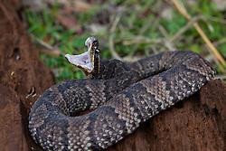Agkistrodon piscivorus leucostoma, Cottonmouth water moccasin snake, Texas, cottonmouth, pit viper, poisonous,