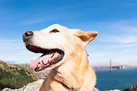 Happy dog in the Marin Headlands, Golden Gate National Recreation Area. San Francisco,  CA.