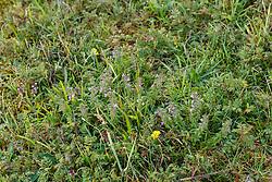 Kleine steentijm, Clinopodium acinos