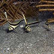 Jackknife Fish inhabit secluded areas of reefs, often under ledges, in recesses or near the entrance to caves in Tropicsal West Atlantic; picture taken St. Vincent.