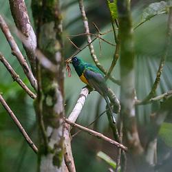 """""""Surucuá-de-barriga-amarela (Trogon rufus) fotografado em Vargem Alta, no Espírito Santo -  Sudeste do Brasil. Bioma Mata Atlântica. Registro feito em 2018.<br /> ⠀<br /> ⠀<br /> <br /> <br /> <br /> <br /> ENGLISH: Black-throated Trogon photographed in Vargem Alta, Espírito Santo - Southeast of Brazil. Atlantic Forest Biome. Picture made in 2018."""""""