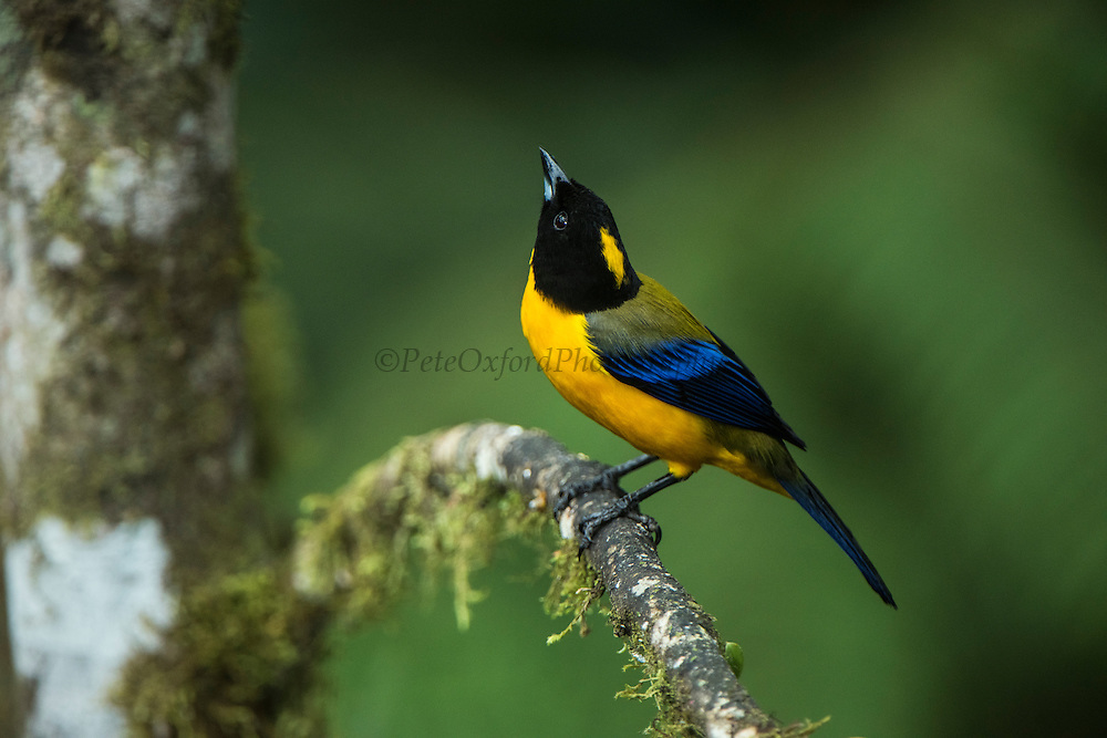Black-chinned Mountain-tanager (Anisognathus notabilis)<br /> Western slopes of Andes<br /> Andes<br /> ECUADOR, South America<br /> Habitat & Range: Subtropical or tropical moist lowland forests and subtropical or tropical moist montane forests of Bolivia, Brazil, Colombia, Ecuador, Guyana, Panama, Peru, and Venezuela