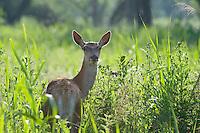 Red deer (Cervus elaphus) hind (female) backlit. Oostvaardersplassen, Netherlands. Mission: Oostervaardersplassen, Netherland, June 2009.